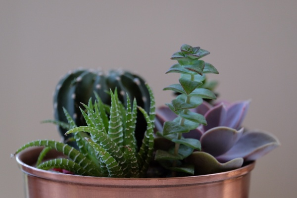 Cacti and succulents in a copper pot